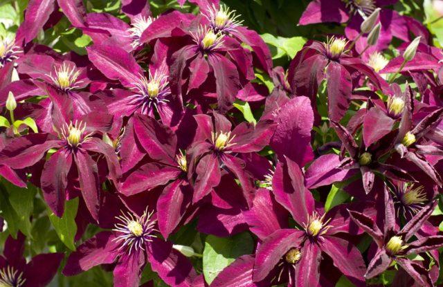 Крупноцветковый клематис Руж Кардинал: группа обрезки, описание, фото