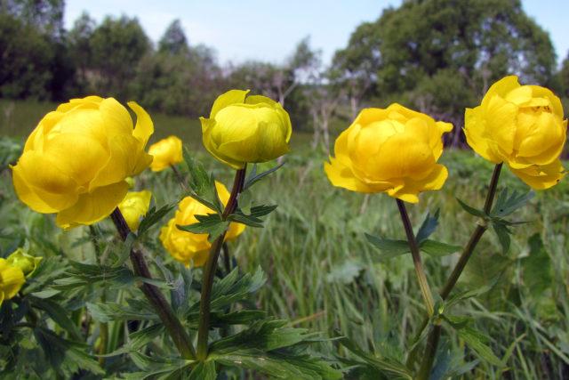 Многолетние цветы для Подмосковья, цветущие все лето: фото, топ лучших