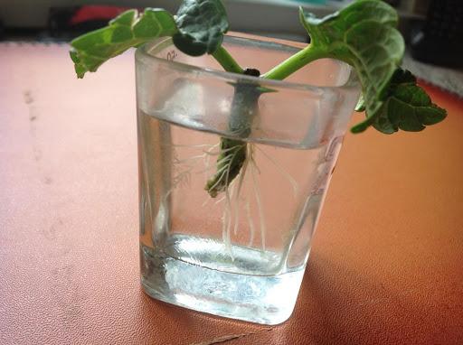 Как размножить метельчатую гортензию черенками весной в домашних условиях