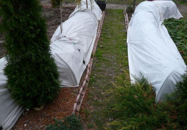 Плетистая роза New Dawn (Нью Даун): фото, описание, отзывы