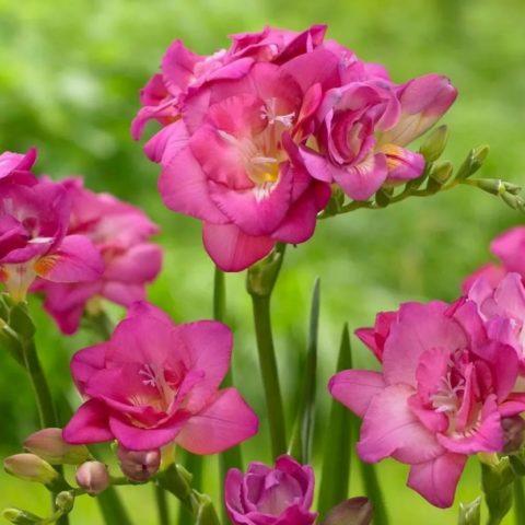 Выращивание и уход за фрезией в открытом грунте: фото, видео