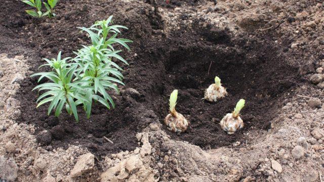 Посадка лилий весной в грунт: как сажать луковицы с ростками, сроки