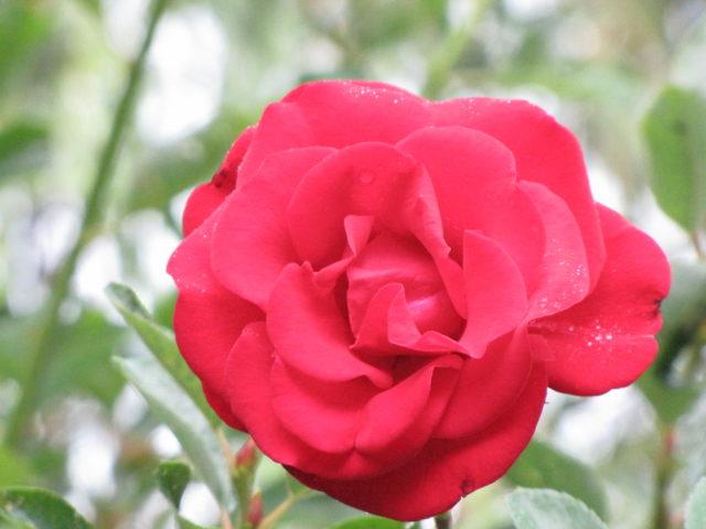 Плетистая роза Сантана: описание сорта, фото в саду, отзывы