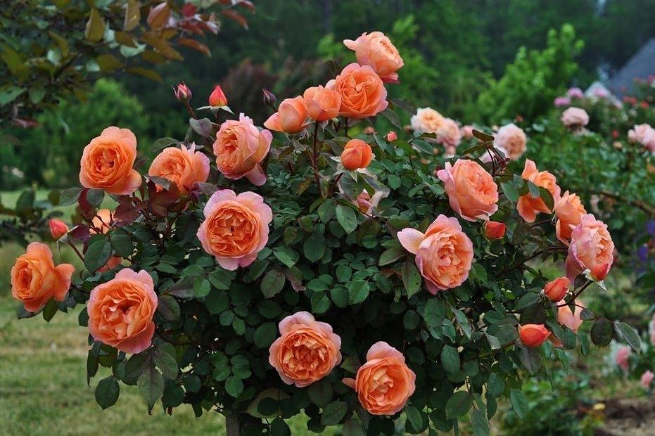 кусты роз названия и фото изделия