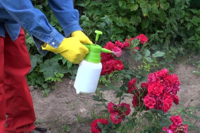 Подкормка роз весной для лучшего цветения