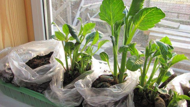 Когда доставать георгины для проращивания весной: подготовка к посадке в домашних условиях, видео