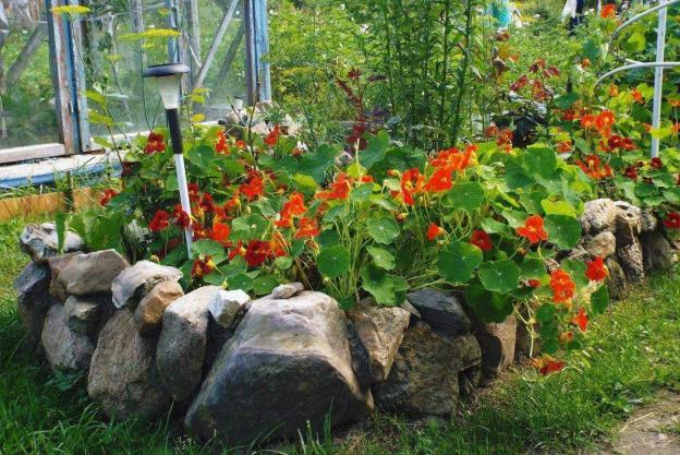 Выращивание настурции в открытом грунте: когда и как сажать семена