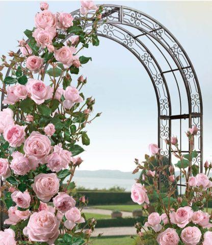 Плетистая роза Pierre de Ronsard (Пьер де Ронсар): описание сорта, видео