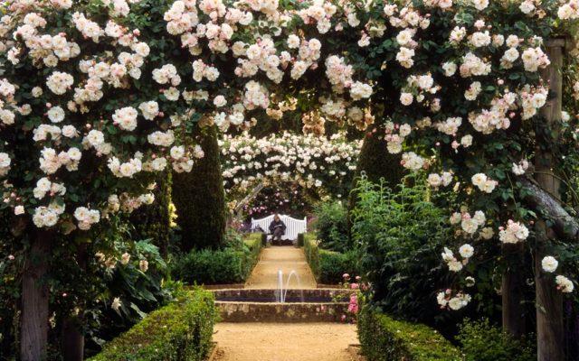 Плетистая роза Клайминг Айсберг: описание сорта с фото