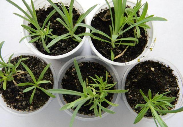 Многолетняя альпийская гвоздика: выращивание из семян, фото