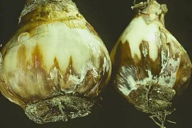 Гиацинты: посадка и уход весной, высадка из горшка