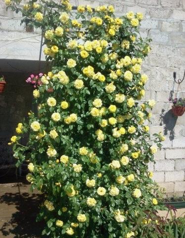 плетистые розы казино уход