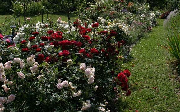 Чайно-гибридная роза Black Baccara (Блэк Баккара): описание сорта, фото