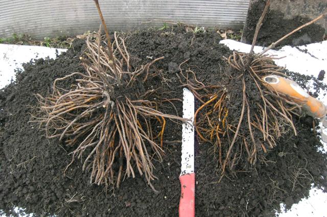 Когда и как правильно сажать клематисы весной в открытый грунт