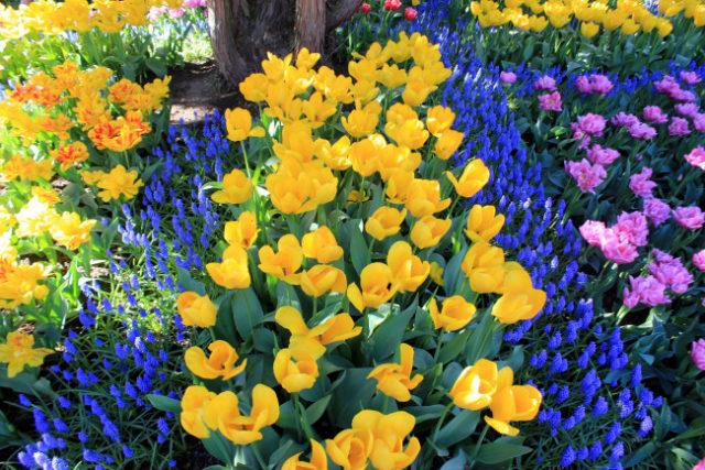 Когда и как сажать луковицы тюльпанов в открытый грунт весной