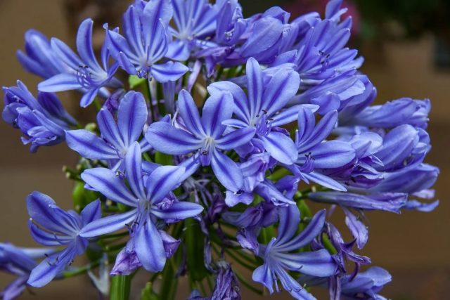 Синие и голубые многолетники: фото и названия, топ цветущих все лето