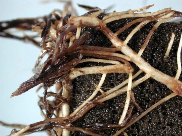Цветы астильба: посадка и уход, фото, выращивание на даче