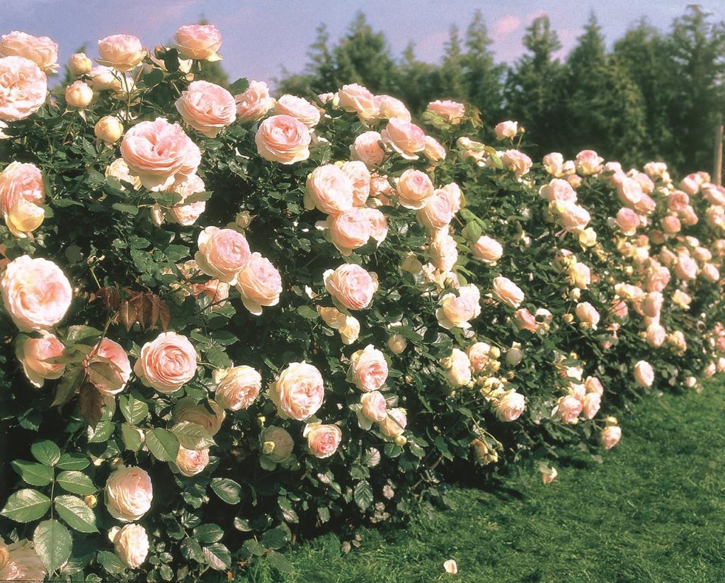 Роза плетистая пьер де ронсар картинки