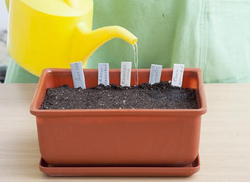 Бархатцы тонколистные Мимимикс: фото, выращивание