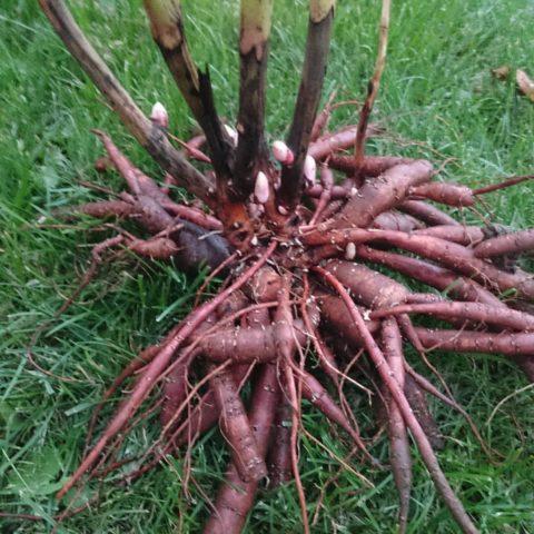 Когда и как правильно пересадить пионы на новое место весной