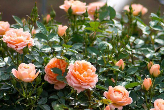 Когда и как открывать розы весной в Подмосковье