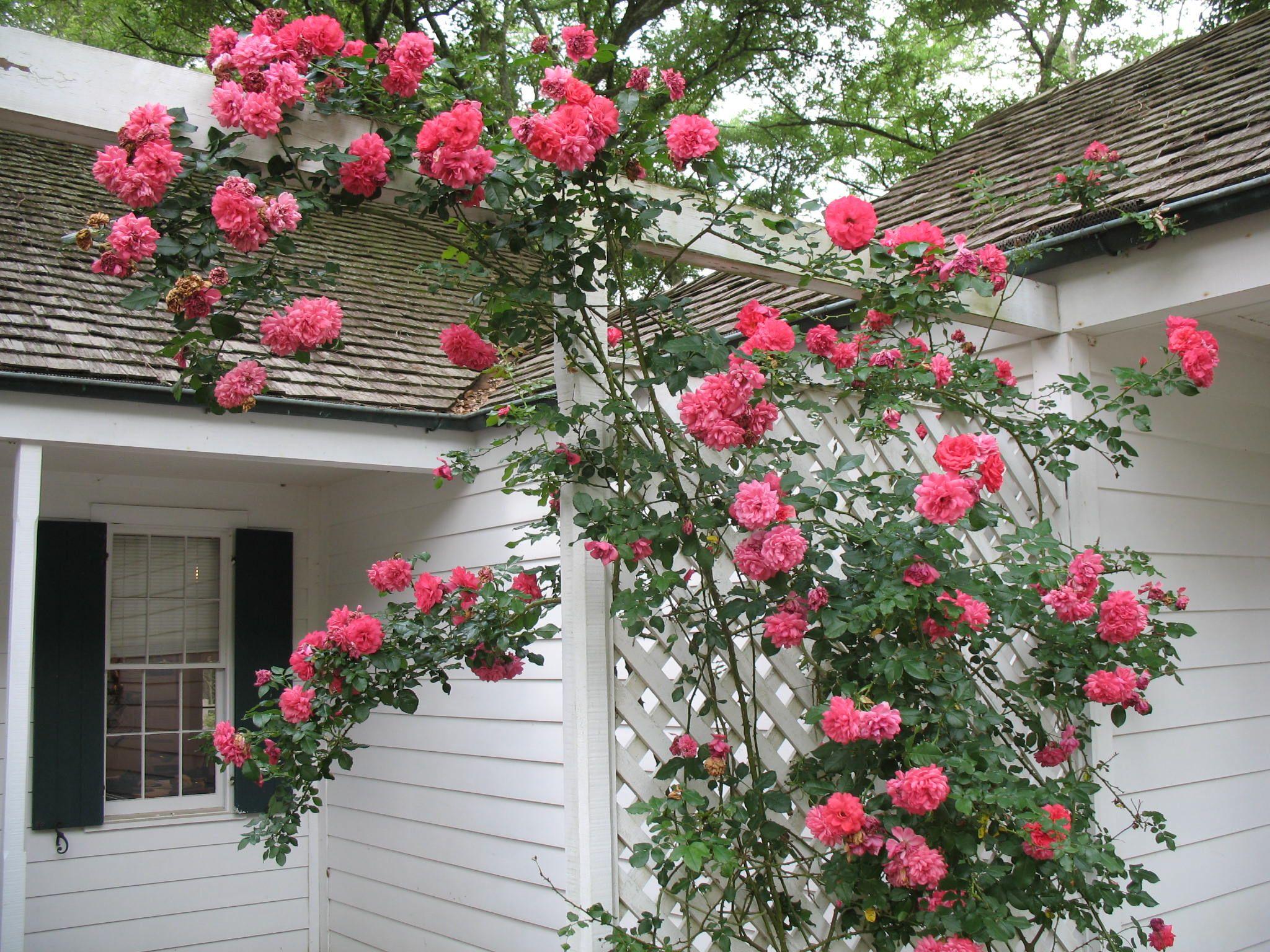 топ-модель самые простые плетистые розы фото и названия также