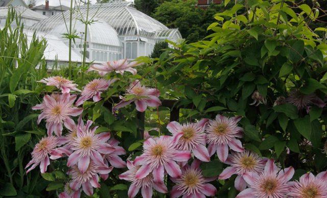 Гибридный крупноцветковый клематис Кайзер: описание сорта, фото