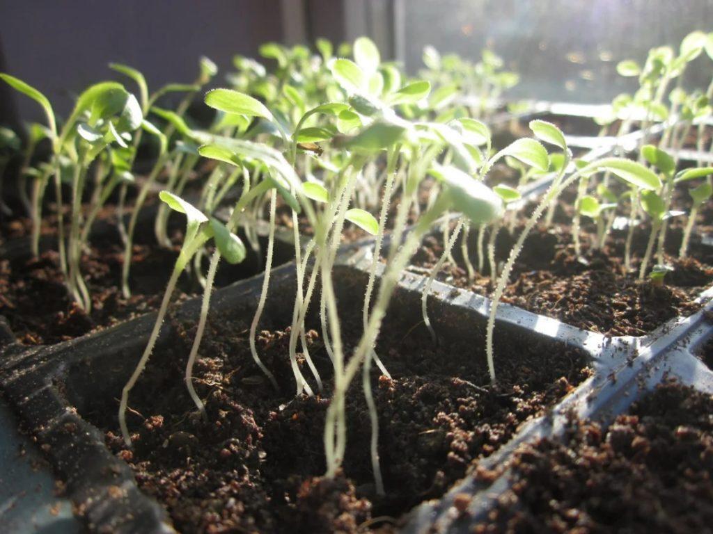 почему петуния падает после всхода семян