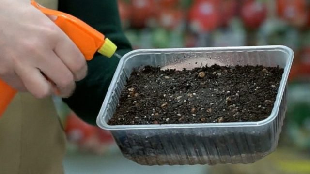 Как вырастить лаванду из семян дома: посев, уход, фото, отзывы
