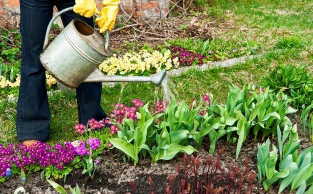 Можно ли пересаживать тюльпаны до цветения весной