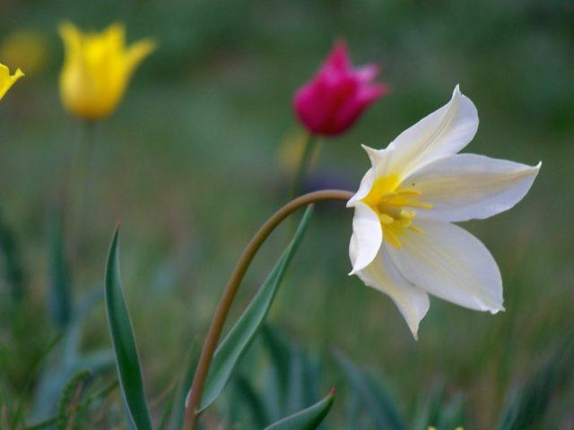Где растет тюльпан Шренка и почему занесен в Красную книгу растений России