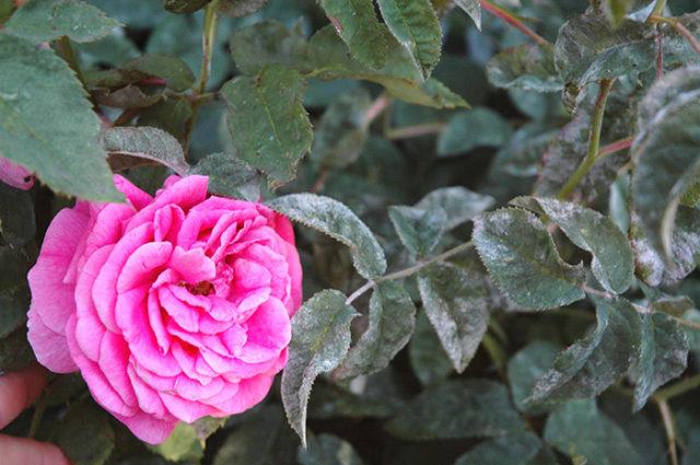 Как избавиться и чем обработать розы от мучнистой росы