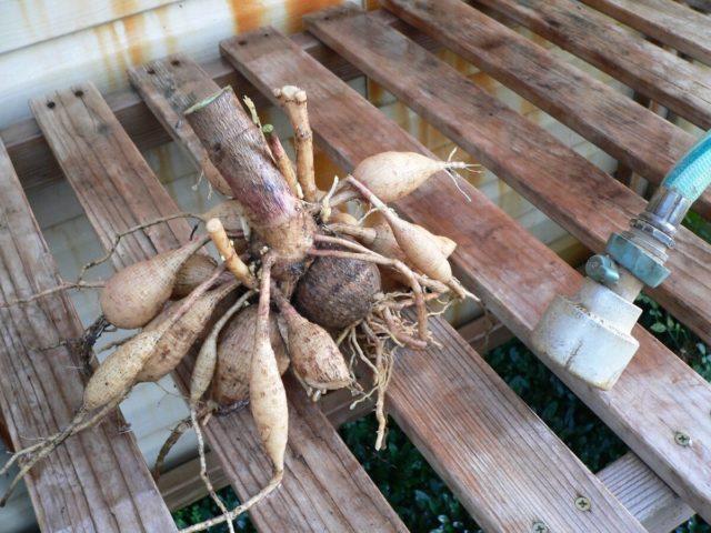 Посадка георгинов клубнями весной: уход, видео