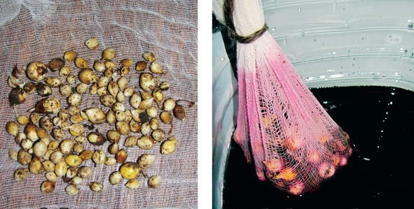 Чем обработать луковицы гладиолусов перед посадкой весной