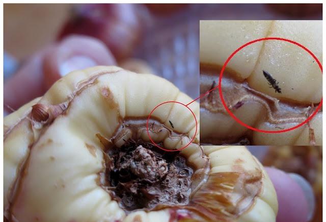 Борьба с трипсами на гладиолусах: препараты, обработка перед хранением