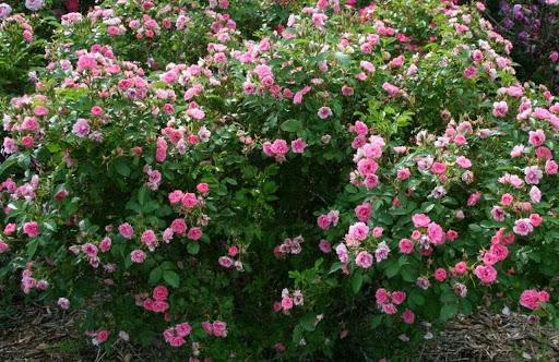Черная пятнистость на розах: лечение и фото, чем обработать