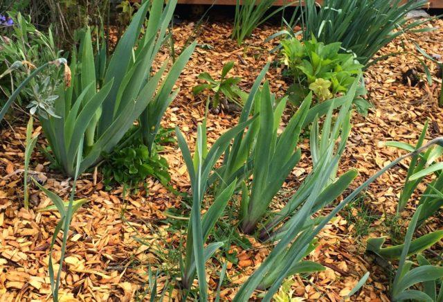 Чем подкормить ирисы весной: для пышного цветения, при посадке