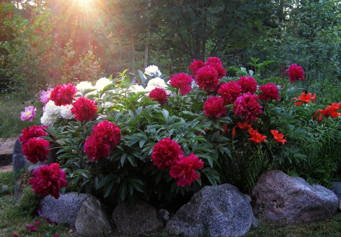 введены композиции с пионами в саду фото очень гордится