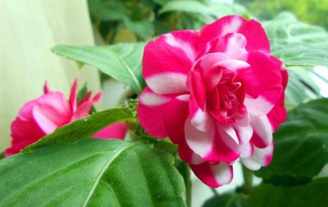 Недотрога бальзаминовая (бальзамин садовый): посадка и уход, фото