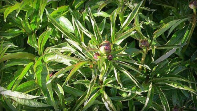 Древовидный пион: выращивание и уход, когда пересаживать, фото, видео