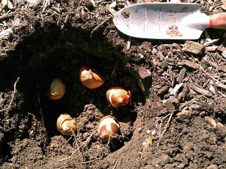 Когда можно пересадить тюльпаны на новое место
