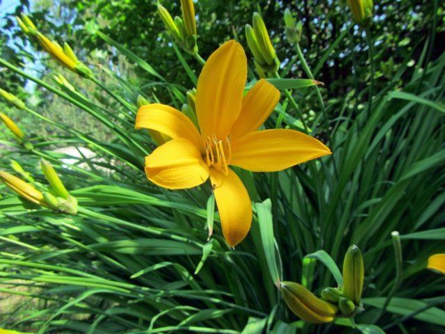 Подкормка и уход за лилейниками весной, летом, осенью