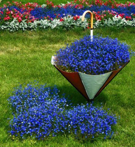 Лобелия многолетняя: посадка и уход за растением в открытом грунте