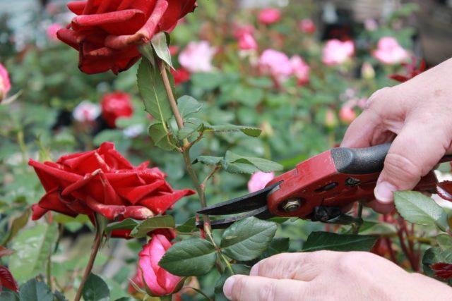 Как пересадить розы на другое место летом
