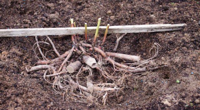 Молочноцветковый травянистый пион сорта Sorbet (Сорбет)