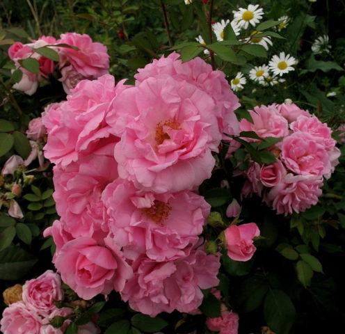 Как и чем удобрять розы летом: во время и после цветения