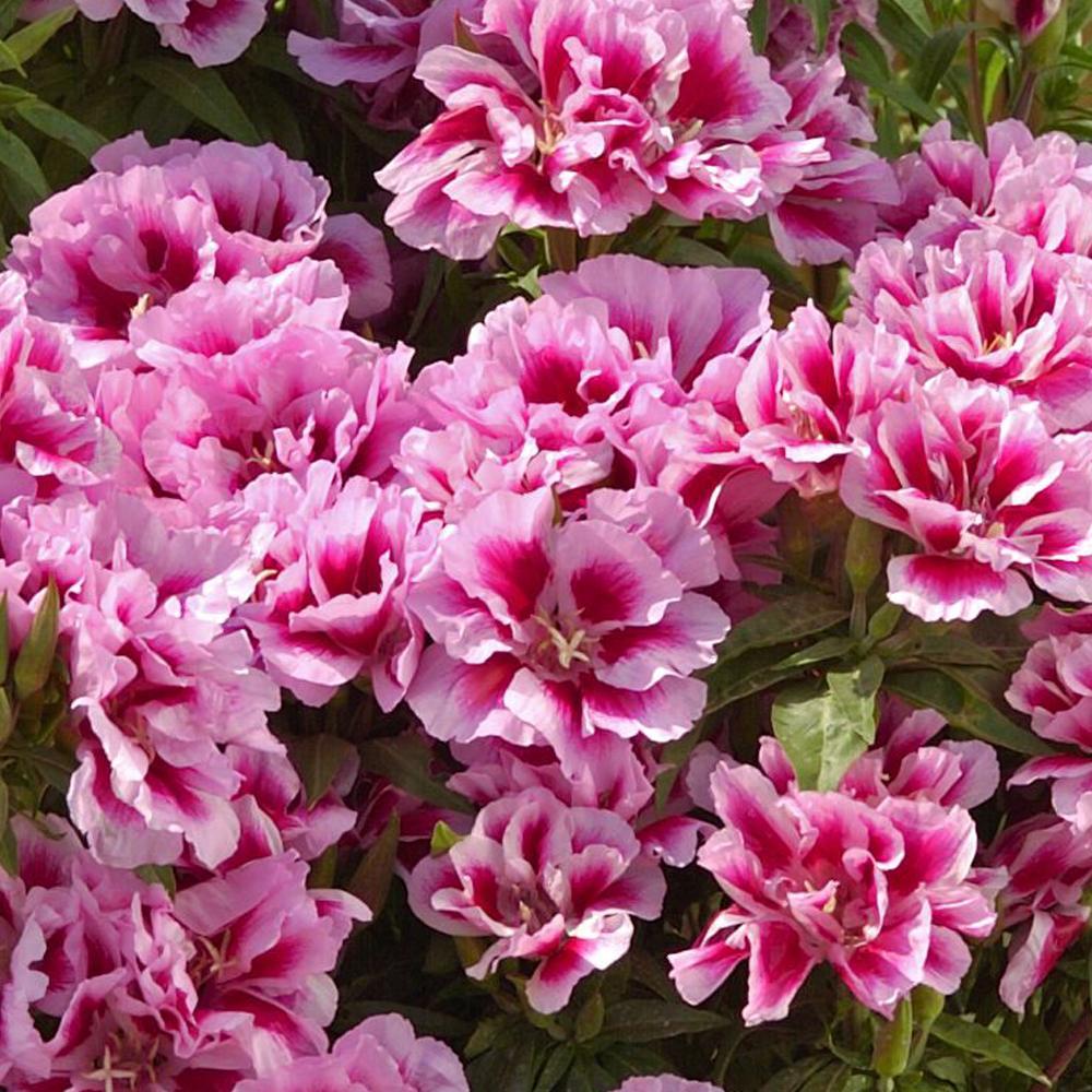 цветы годеции как разводить рассадой