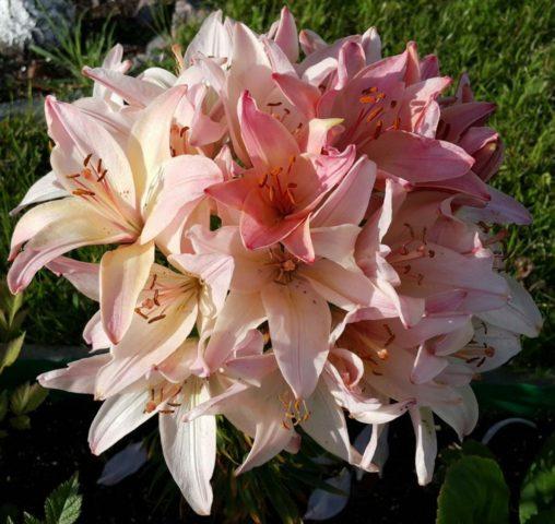 Азиатская шаровидная лилия сорта Marlene (Марлен): посадка и уход