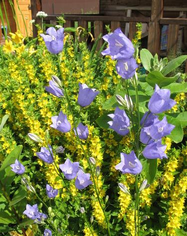 Вербейник обыкновенный (Lysimachia vulgaris): описание, посадка и уход