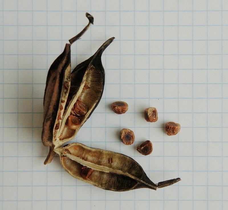 семена ириса картинки старинных